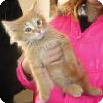 Domestic Mediumhair Cat for adoption in Powell, Ohio - Gabriel