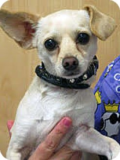 Chihuahua/Dachshund Mix Dog for adoption in San Diego, California - Benson