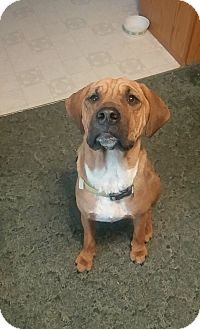 Hound (Unknown Type)/Shepherd (Unknown Type) Mix Dog for adoption in Homer, New York - Gus