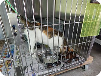 Domestic Shorthair Cat for adoption in Henderson, North Carolina - Patches & 6 kittens