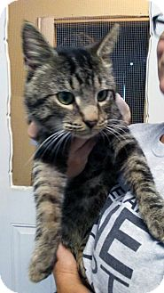 Domestic Shorthair Cat for adoption in Loogootee, Indiana - Butters