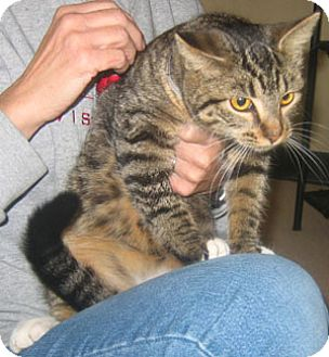 Domestic Shorthair Cat for adoption in Garland, Texas - Frances