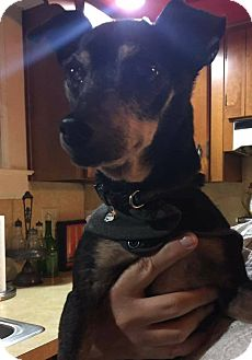 Manchester Terrier Mix Dog for adoption in Greensboro, Maryland - Rocky
