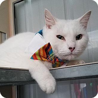 Domestic Shorthair Cat for adoption in Lansing, Kansas - Danillo