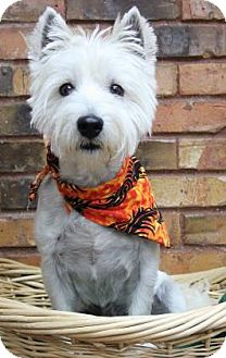 Westie, West Highland White Terrier Dog for adoption in Benbrook, Texas - Jet