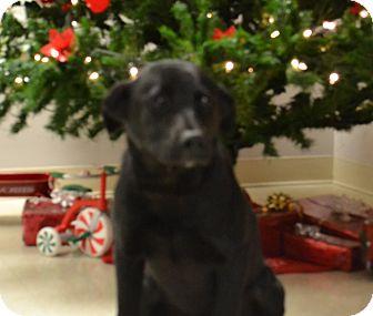 Labrador Retriever Puppy for adoption in Lebanon, Missouri - Zeus