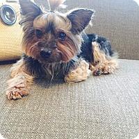 Adopt A Pet :: Grace - Chicago, IL