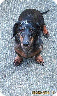Dachshund Dog for adoption in Lincolndale, New York - BAXTER