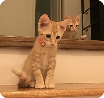Domestic Shorthair Kitten for adoption in Schertz, Texas - Roxy TG