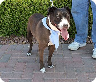 Terrier (Unknown Type, Medium)/Pit Bull Terrier Mix Dog for adoption in Las Vegas, Nevada - WILLIE