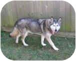 Siberian Husky/Alaskan Malamute Mix Dog for adoption in Boyertown, Pennsylvania - Misty