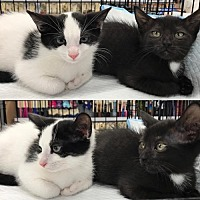 Adopt A Pet :: Indy and Chess, Lovey Dovey Babies - Brooklyn, NY