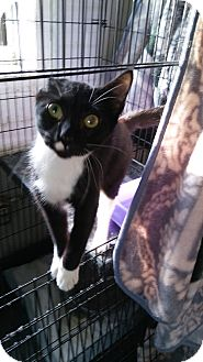 American Shorthair Cat for adoption in Glenpool, Oklahoma - Tux