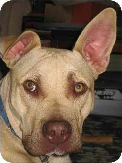Bull Terrier/French Bulldog Mix Dog for adoption in Berea, Ohio - Harvey