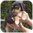 Photo 2 - Labrador Retriever/Australian Shepherd Mix Puppy for adoption in Brooksville, Florida - DIESEL