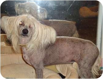 Chinese Crested Dog for adoption in San Diego, California - Tyler
