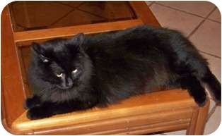 Domestic Longhair Cat for adoption in Gautier, Mississippi - Crow