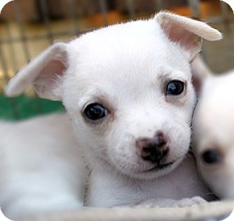 Chihuahua Puppy for adoption in Dallas, Texas - Ace