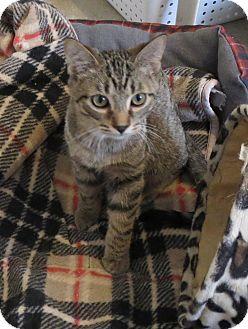 Domestic Shorthair Cat for adoption in Geneseo, Illinois - Wyatt