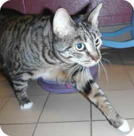 Domestic Shorthair Cat for adoption in Jackson, Michigan - Oni