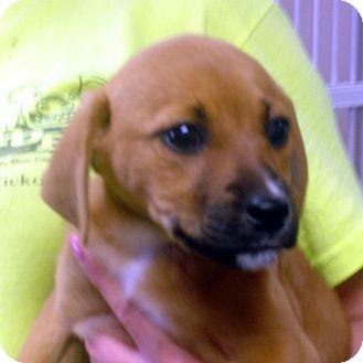 Beagle/Feist Mix Puppy for adoption in Manassas, Virginia - Mollie