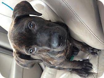 Mastiff/Great Dane Mix Puppy for adoption in Lancaster, Ohio - Maxwell