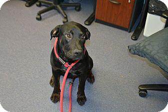 Rottweiler/Labrador Retriever Mix Puppy for adoption in Edwardsville, Illinois - Kingsford