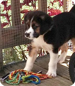 Beagle Mix Puppy for adoption in Richmond, Virginia - Noodles