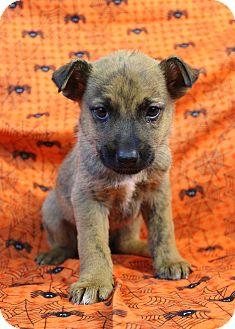 Rottweiler/Australian Shepherd Mix Puppy for adoption in Westminster, Colorado - La La Land