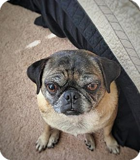 Pug Dog for adoption in Austin, Texas - Dixie