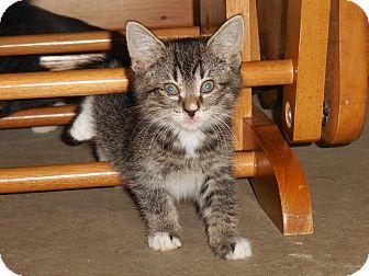 American Shorthair Kitten for adoption in Cathlamet, Washington - Milkshake