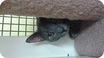 Domestic Shorthair Cat for adoption in Livonia, Michigan - Misty