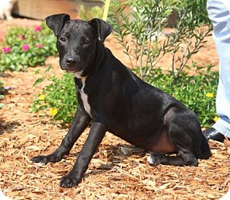 Pit Bull Terrier Mix Puppy for adoption in Fort Walton Beach, Florida - Rodie