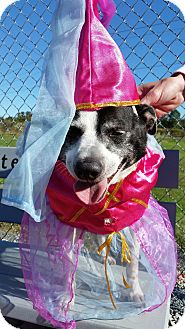 Jack Russell Terrier Mix Dog for adoption in Gettysburg, Pennsylvania - Cher