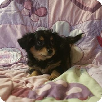 Chihuahua Mix Puppy for adoption in La Verne, California - Ocean