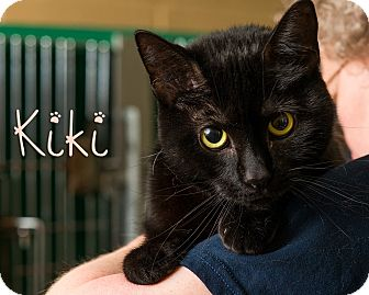 Domestic Shorthair Cat for adoption in Somerset, Pennsylvania - Kiki