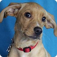 Adopt A Pet :: Brooke - Minneapolis, MN