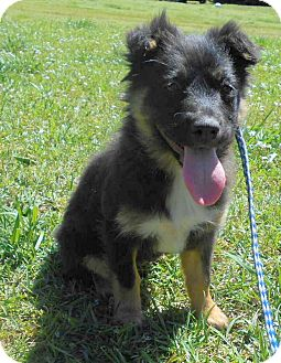 Australian Shepherd/Sheltie, Shetland Sheepdog Mix Dog for adoption in Allentown, New Jersey - Tickles