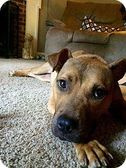 Pit Bull Terrier Mix Dog for adoption in Sanford, North Carolina - Livy