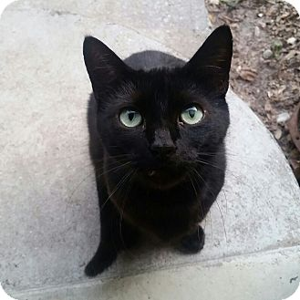 Domestic Shorthair Cat for adoption in Ocala, Florida - Diamond