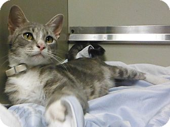 Domestic Shorthair Cat for adoption in Cedartown, Georgia - 32215070