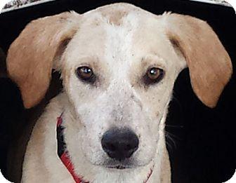 Labrador Retriever Mix Puppy for adoption in Preston, Connecticut - Amber ad 10-08-16