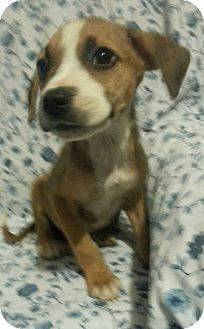 Labrador Retriever/Hound (Unknown Type) Mix Puppy for adoption in Pompton Lakes, New Jersey - Blaze