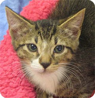 Domestic Shorthair Kitten for adoption in Garland, Texas - Meer
