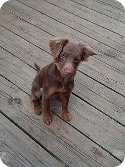 Papillon/Dachshund Mix Puppy for adoption in Springtown, Texas - Oscar
