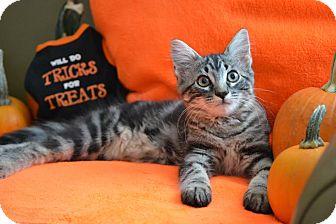 Domestic Shorthair Kitten for adoption in Manhattan, Kansas - Oscar