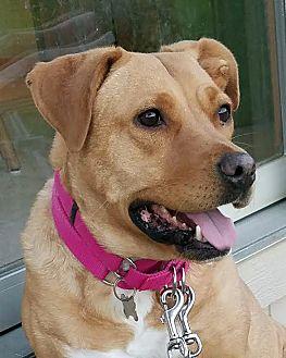 Labrador Retriever/Terrier (Unknown Type, Medium) Mix Dog for adoption in Detroit, Michigan - *AARF* - Monica