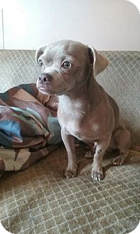 Chihuahua/Pug Mix Dog for adoption in Sagaponack, New York - Lenny