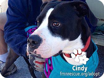 Boxer Mix Dog for adoption in Sarasota, Florida - Cindy