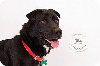Akita/Great Pyrenees Mix Dog for adoption in Kansas City, Missouri - Niko